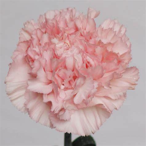 sim carnations perth wholesale wedding flowers