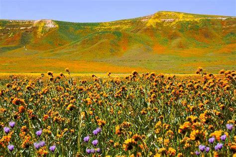 beautiful california flower fields   visit  spring