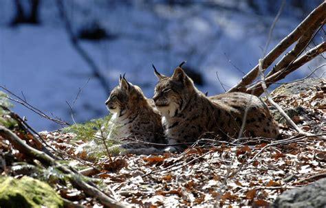 lynx trois observations dans les monts du lyonnais ferus