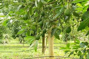 Avocado Pflanze Richtig Schneiden : avocado zur ckschneiden so machen sie es richtig ~ Lizthompson.info Haus und Dekorationen