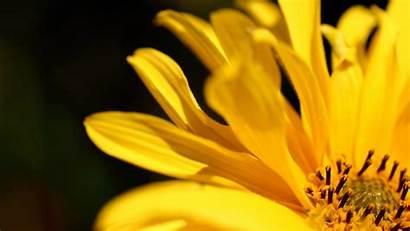 Flower Yellow Petals Flowers Romantic Petal Wallpapers