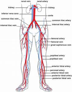 Illustrations Of The Blood Vessels