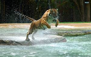 top, 35, most, beautiful, tiger, wallpapers