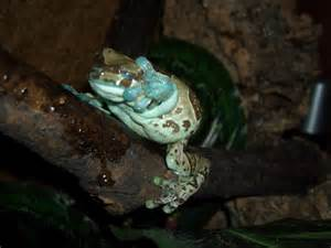 do milk frogs shed reptile forums