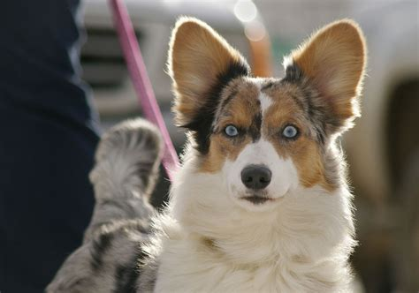 Cardigan Welsh Corgi Dog Breed » Info, Pictures, & More