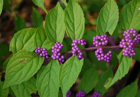 shrubs with purple berries premiere landscape inc callicarpa dichotoma early amethyst