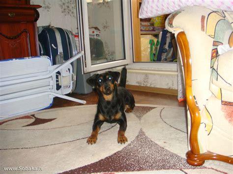 Vācu medību terjers ♦ Foto 23965 - LAT.SOBAKA.LV