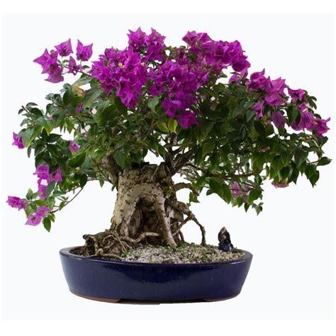 bonsai bougainvillea care flowering
