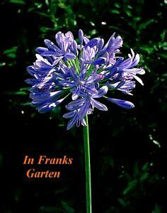 afrikanische lilie überwintern agapanthus praecox schmucklilie lilie afrikanische liebesblume 10 samen ebay