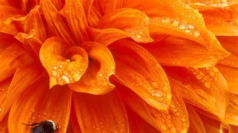 Orange Wallpaper Flower by Bee On Orange Flower Hd Wallpaper Background Image