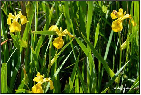 Flores y Bichos ***: Iris pseudacorus - Lirio de los ...