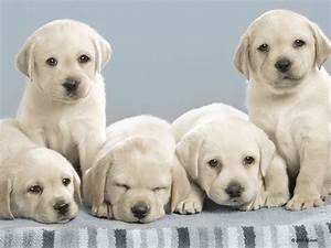 Nintendogs images These Dogs Look Alot Like my Yellow Lab ...