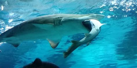 vid 201 o pour le d 238 ner ce requin d un aquarium de s 233 oul a englouti rival ce qu il ne