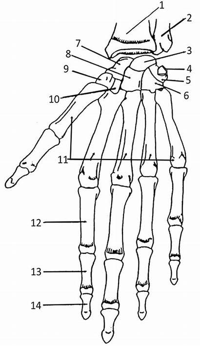 Hand Anatomy Bones Coloring Human Names Bone