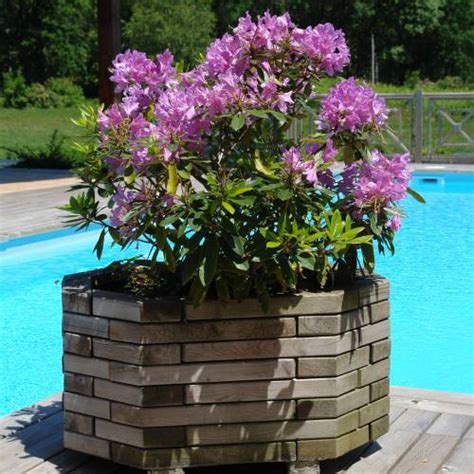 rhododendron pontique vente rhododendron pontique rhododendron ponticum