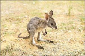 SO cute ... baby wallaby | Animals of Australia ...