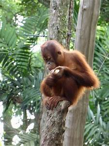 Breakfast with the Orangutans - Picture of Singapore Zoo ...