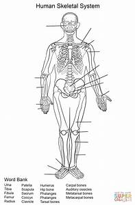Human Skeletal System Worksheet Coloring Page