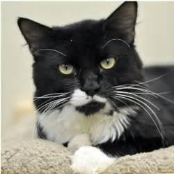 tuxedo cat 36 tuxedo cats dropped at marin humane society with