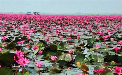 Red Lotus Lake. Thailand