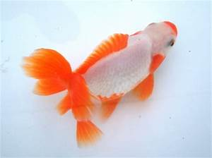 Jikin -Japanese Goldfish Catalog-