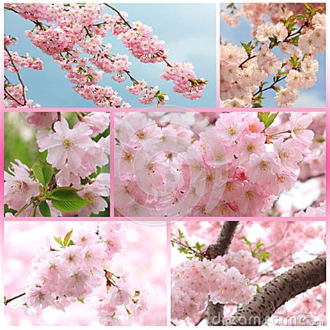 Bibit Collagen Japanese Cherry collage japanese cherry tree with blossoms at springtime