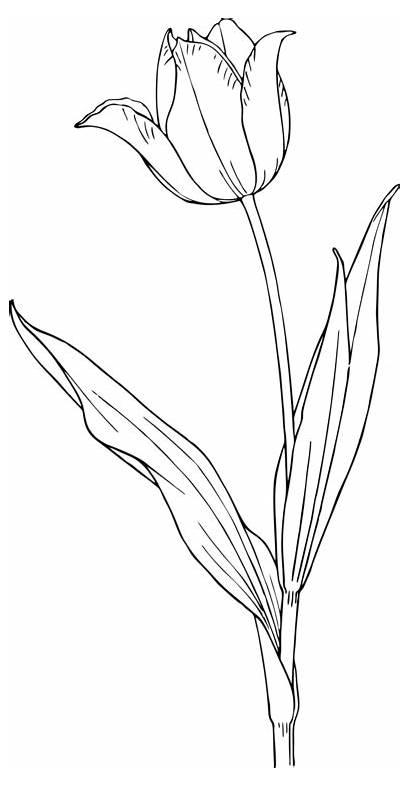 Drawings Flower Tulip Drawing Line Pencil Tattoo