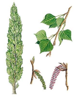 dictionnaire de cuisine larousse encyclopédie larousse en ligne peuplier