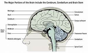 What Are The Most Important Parts Of The Human Brain