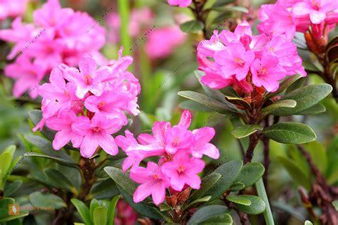 bestellen alpenrose rhododendron bild bildagentur
