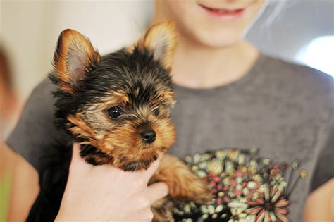 Yorkie Puppies Images Yorkie Puppies Dogtime
