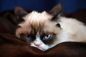 grumpy kitty hd Wallpapers