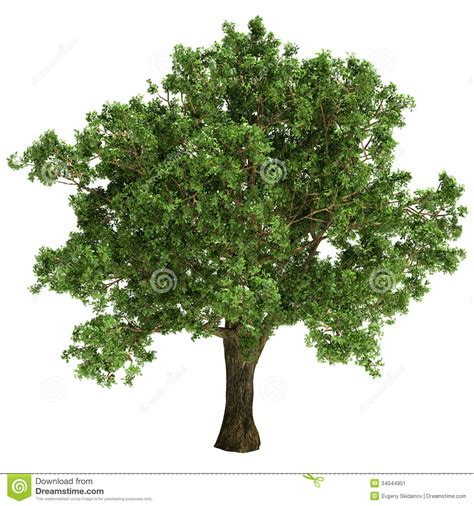 small oak tree isolated stock image image 34044951