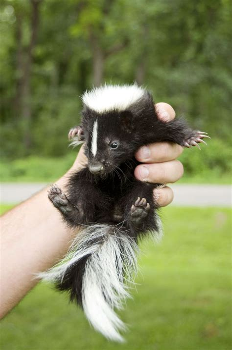 skunks as pets skunks also called polecats in america are known for their ability to spray a liquid with a