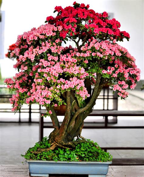 achetez en gros rhododendron bonsa 239 en ligne 224 des grossistes rhododendron bonsa 239 chinois