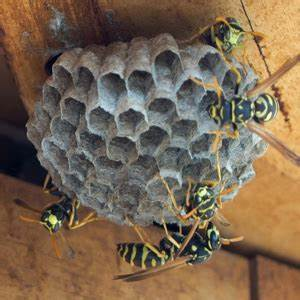 Chart Paper Bee And Wasp Problems Bee Removal Perth How To Get Rid