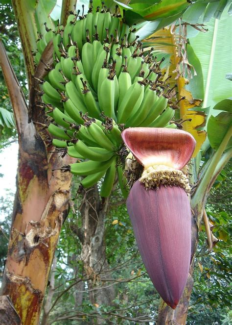 banana flower banana flower eating the exotic dietitian without borders