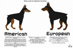 About Doberman Pinschers. European Doberman vs American ...