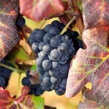 Achat Pied De Vigne Raisin De Table : vigne muscat de hambourg bojardin ~ Nature-et-papiers.com Idées de Décoration