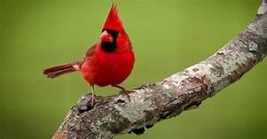 Cardenal Pájaros Birds Pinterest Cardenales, Pájaros cardenales y Pájaro