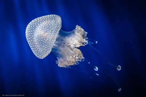 bureau marin tlcharger fond d 39 ecran méduses jellyfish monde sous
