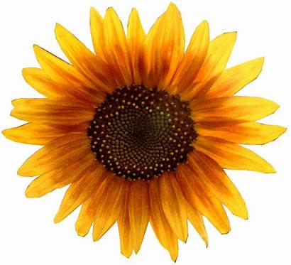 Flower Sunflower March Organic Guide Sunflowers Spring
