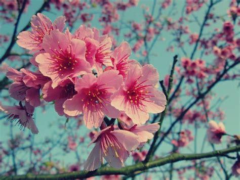 gambar bunga sakura  indah kumpulan gambar