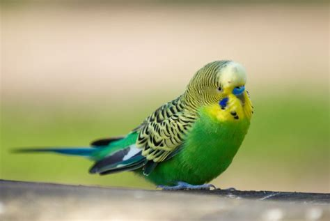 1000+ Images About Budgies! On Pinterest
