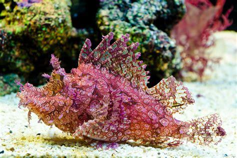 marine species rhinopias scuba diver life