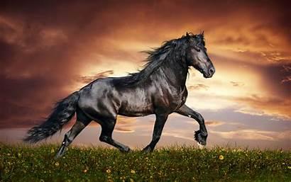Horses Desktop Wallpapers Horse Arabian Cool Background
