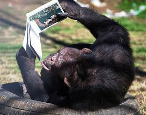 Chimp On Back Reading Book Global Animal