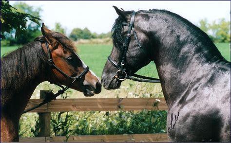morgan horses horse breed advertisements figure