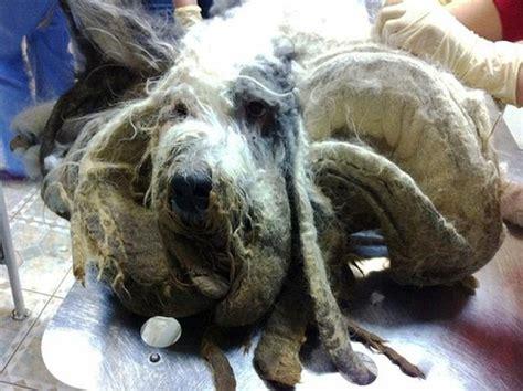 bobtail dog   owner dies worst matted hair