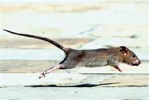 Comment Tuer Une Souris : comment tuer les rats ~ Maxctalentgroup.com Avis de Voitures